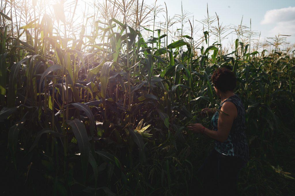 Dans les champs de maïs doux en fin de journée 7Artisans 28mm F1.4  F2,4 - ISO 160 - Leica M9