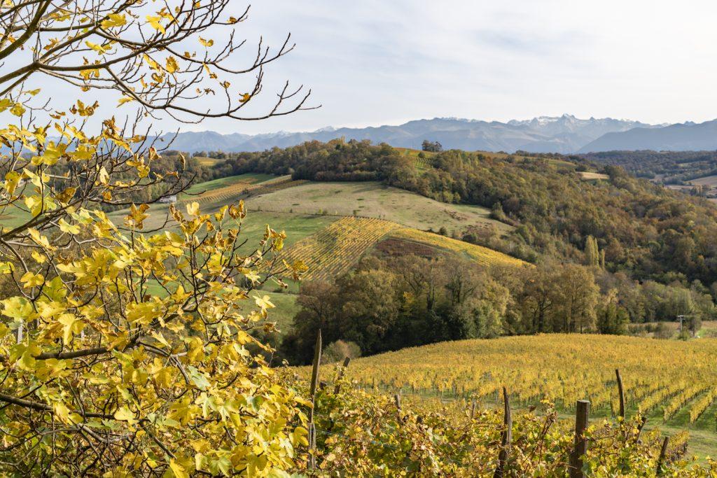 Vignes du Jurançon au début de l'automne, les feuilles sont d'un jaune intense