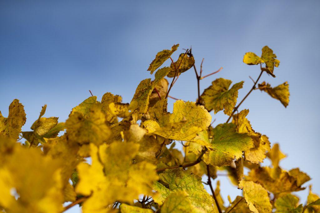 Feuilles de vigne d'un magnifique jaune au début de l'automne et ciel bleu